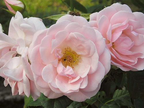 Rosenblätter zur Kaffeeverfeinerung